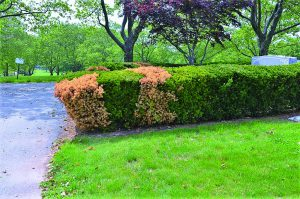 phytophthora root rot on yews